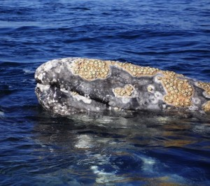 Grey_whales_43_face_barnacles.560x496